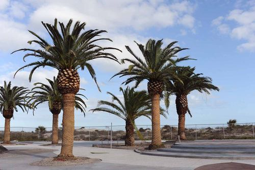 Jekyll Island Convention Center - Canary Island Palms - Gibson Landscape