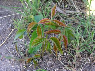 Poison Ivy New Growth